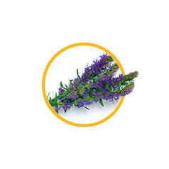 Экстракт травы иссопа