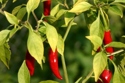 Экстракт красного перца