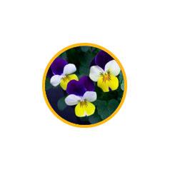Фиалка трехцветная (измельченная трава)