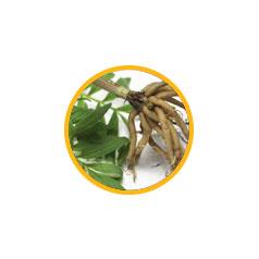 Корневища с корнями валерианы лекарственной